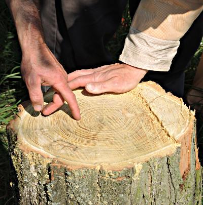 Frisch geschnittene Baumscheibe einer Rubinie.