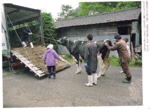 Kuh mit radioaktiver Belastung in Fukushima
